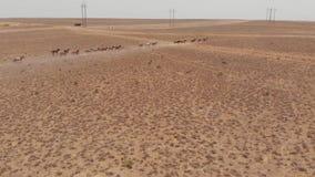 Corridas dos cavalos selvagens através do estepe seco de Cazaquistão filme
