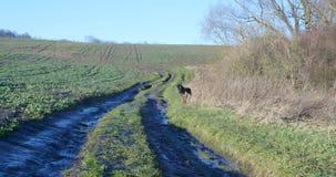 Corridas dos pastores alemães em torno do campo filme