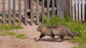 Corridas listradas peludos bonitas de um gato ao longo da cerca de uma casa privada Animal de estima??o bonito video estoque