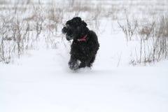 Corridas novas de um schnauzer gigante através do campo no inverno fotografia de stock