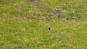 Corridas pequenas bonitas de um pássaro no gramado Plano agradável da parte externa vídeos de arquivo