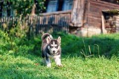 Corridas roncas do cachorrinho na grama fotos de stock royalty free