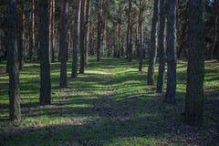 Corridoio di molte conifere nella foresta Fotografia Stock Libera da Diritti