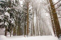 Corridoio di vecchi alberi alti innevati Fotografia Stock Libera da Diritti