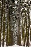 Corridoio di vecchi pini alti innevati Fotografia Stock