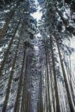 Corridoio di vecchi pini alti innevati Immagini Stock