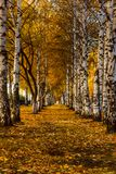 A corridor of autumn white birch trees with yellow leaves stretching into the distance. A corridor of autumn white birch trees with yellow leaves stock images