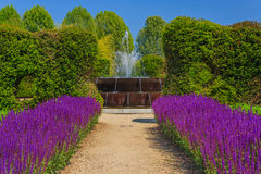 A corridor of purple sage flowers  sunlit. An expanse of purple sage flowers in the vegetable -garden  of Venaria`s royal  palace near Turin,in Piedmont ITALY Stock Image