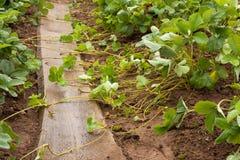 Corridori della plantula dei cespugli della fragola in giardino Immagine Stock