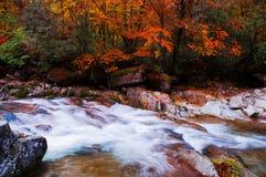Corriente acrossing el bosque de oro de la caída Fotos de archivo libres de regalías