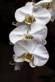 Corriente de la orquídea Fotos de archivo libres de regalías