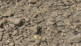 Corriente limpia rápida en el río en el agua poco profunda, a través de la cual pueden estar las piedras planas grandes y pequeña almacen de video