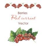 Corriente roja Bayas Vector Bayas de la acuarela Fotografía de archivo libre de regalías