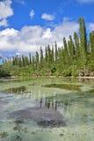 Corriente salobre baja con la fila ascendente de los árboles de pino en los pernos del DES de Ile, Nueva Caledonia del río Imagen de archivo libre de regalías