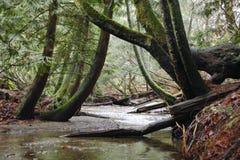 Corriente a través del bosque del viejo crecimiento Fotos de archivo libres de regalías