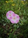 Corriola cor-de-rosa fotografia de stock