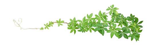 A corriola selvagem sae da planta tropical que escala na liana torcida da selva isolada no fundo branco, trajeto foto de stock royalty free
