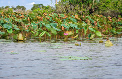Corroboree Wetlands with its banks covered in lotuses in NT, Australia Royalty Free Stock Photography