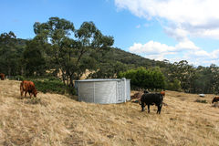 Corrugated iron water tank with cows in paddock. Stock Image