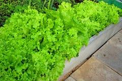 Corrugated leaves of fresh vegetable salad Stock Images