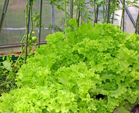 Corrugated lettuce growing in a greenhouse Royalty Free Stock Photo
