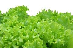 Corrugated lettuce leaves isolated Royalty Free Stock Image