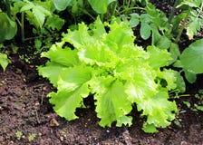 Corrugated lettuce plant Royalty Free Stock Photo