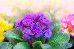 Corrugated purple primrose in  sunlight Royalty Free Stock Photo