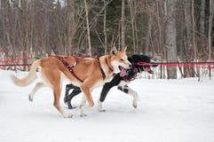 Corsa canina degli atleti vicino durante la corsa della slitta tirata da cani Fotografie Stock Libere da Diritti