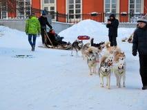Corsa con gli sci del husky nel parco nell'inverno fotografia stock