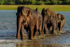 Corsa degli elefanti Fotografie Stock Libere da Diritti