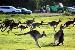 Corsa dei canguri fotografia stock