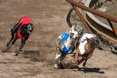 Corsa dei whippets Fotografie Stock Libere da Diritti