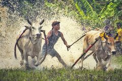 Corsa della mucca Fotografia Stock