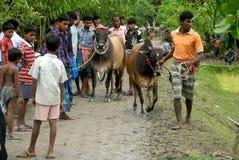 Corsa della mucca Immagini Stock Libere da Diritti
