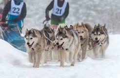 Corsa della slitta del husky Fotografie Stock