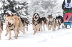 Corsa della slitta tirata da cani Fotografia Stock Libera da Diritti