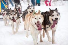 Corsa della slitta tirata da cani con i cani del husky Immagini Stock Libere da Diritti