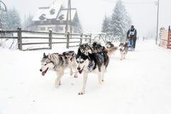 Corsa della slitta tirata da cani del husky siberiano Immagine Stock