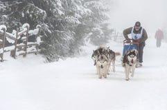 Corsa della slitta tirata da cani del husky siberiano Fotografia Stock Libera da Diritti