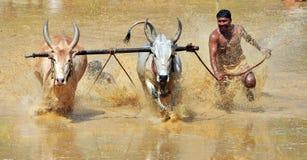 Corsa di Bullock in un'area rurale del kakkoor karala fotografie stock