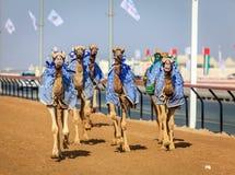 Corsa di cammello nel Dubai Fotografie Stock