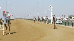 Corsa di cammello nel Dubai video d archivio