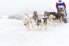 Corsa di cane di slitta Fotografia Stock
