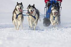 Corsa di cane di slitta Lenk/Svizzera 2012 Fotografie Stock Libere da Diritti