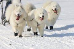 Corsa di cane di slitta Lenk/Svizzera 2012 Immagini Stock