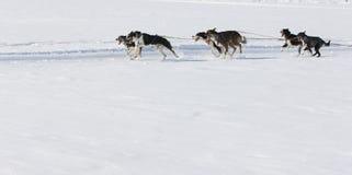 Corsa di cane di slitta Lenk/Svizzera 2012 Immagine Stock Libera da Diritti