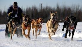 Corsa di cane di slitta nordamericana limitata Immagine Stock