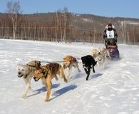 Corsa di cane di slitta nordamericana limitata - Alaska Immagine Stock