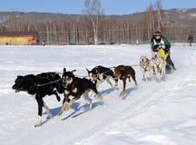 Corsa di cane di slitta nordamericana limitata - Alaska Fotografia Stock